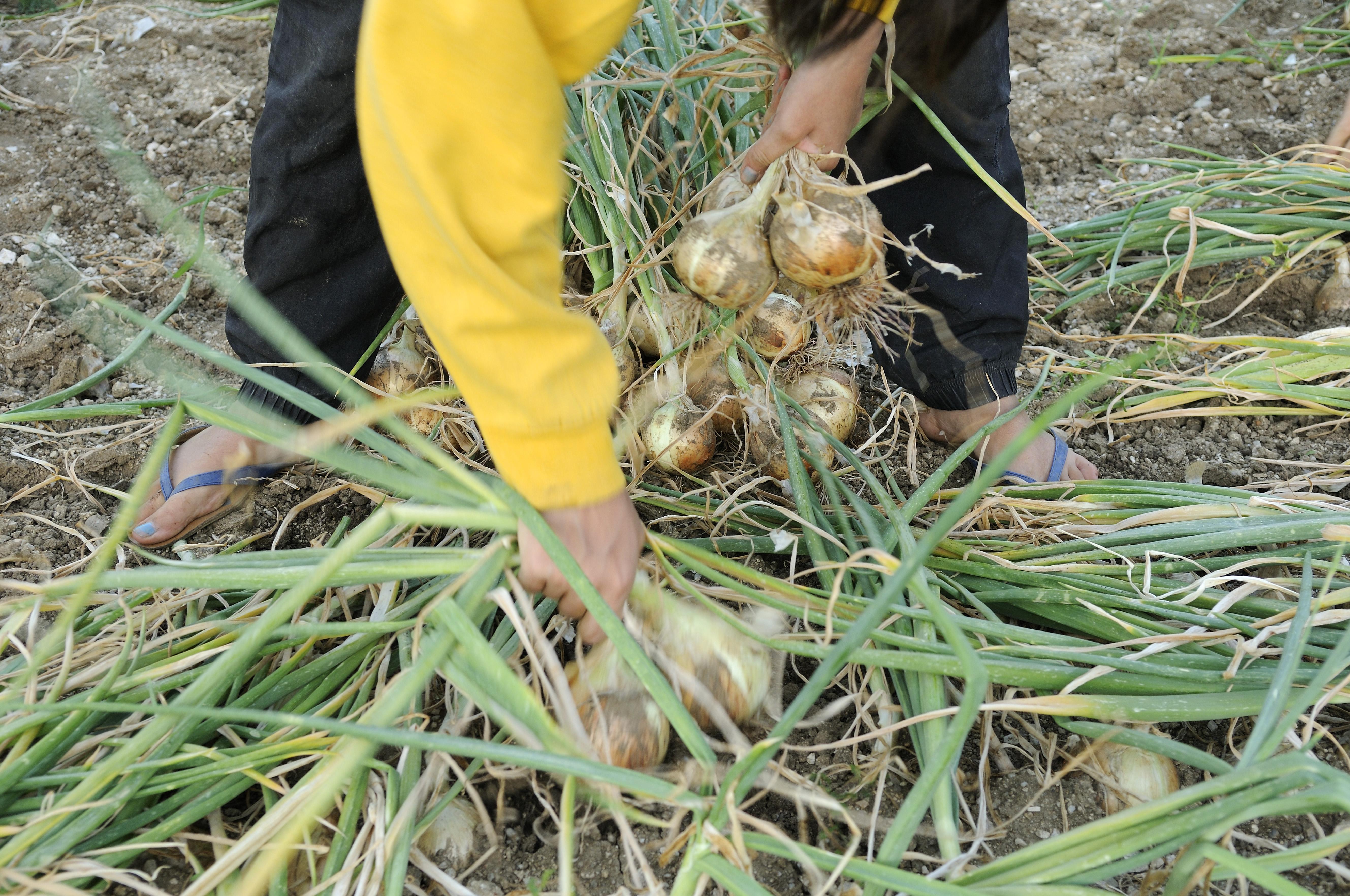 Début août 2014 – récolte de l'oignon doux des Cévennes