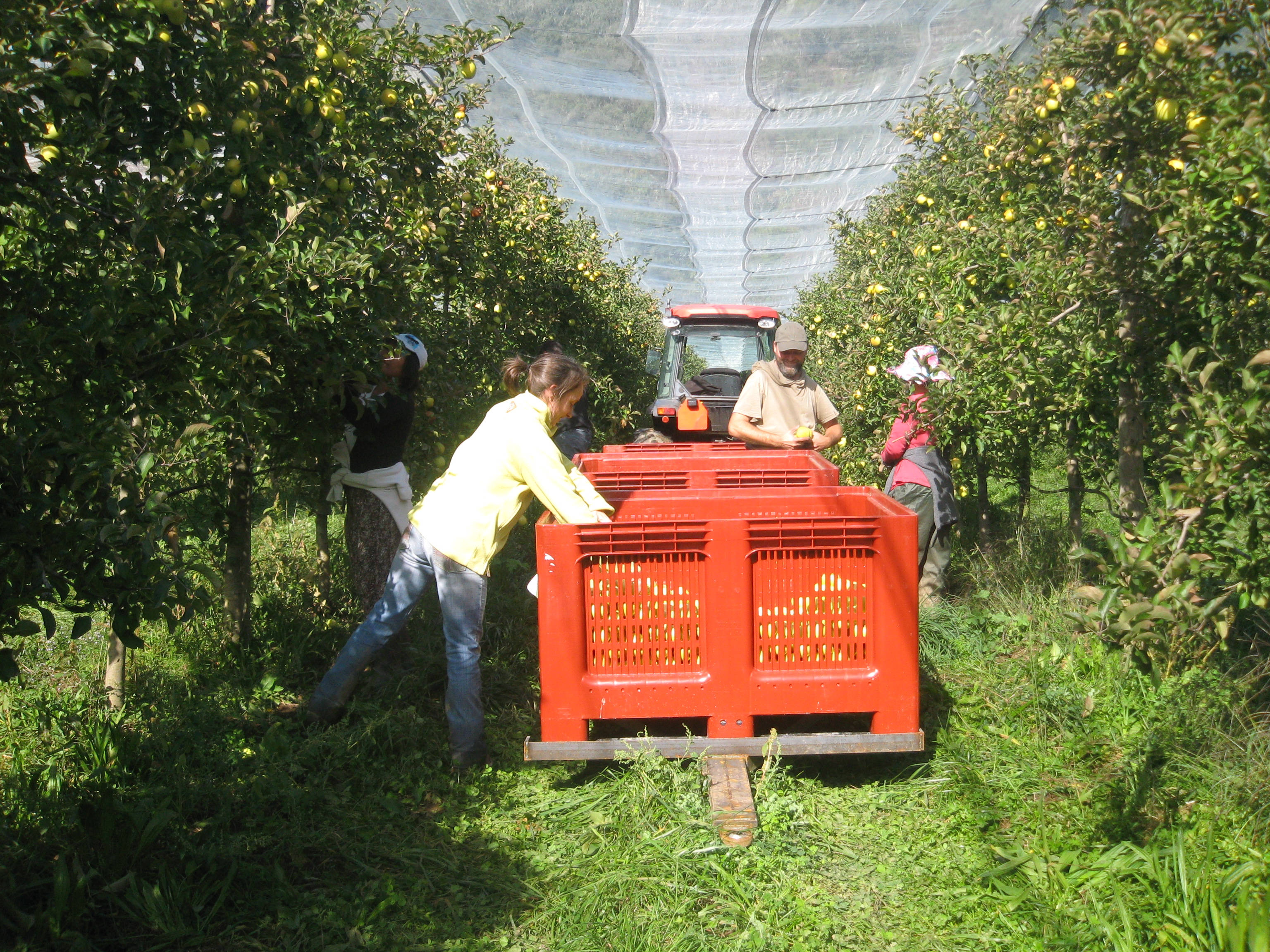 Lancement de la récolte pomme 2015