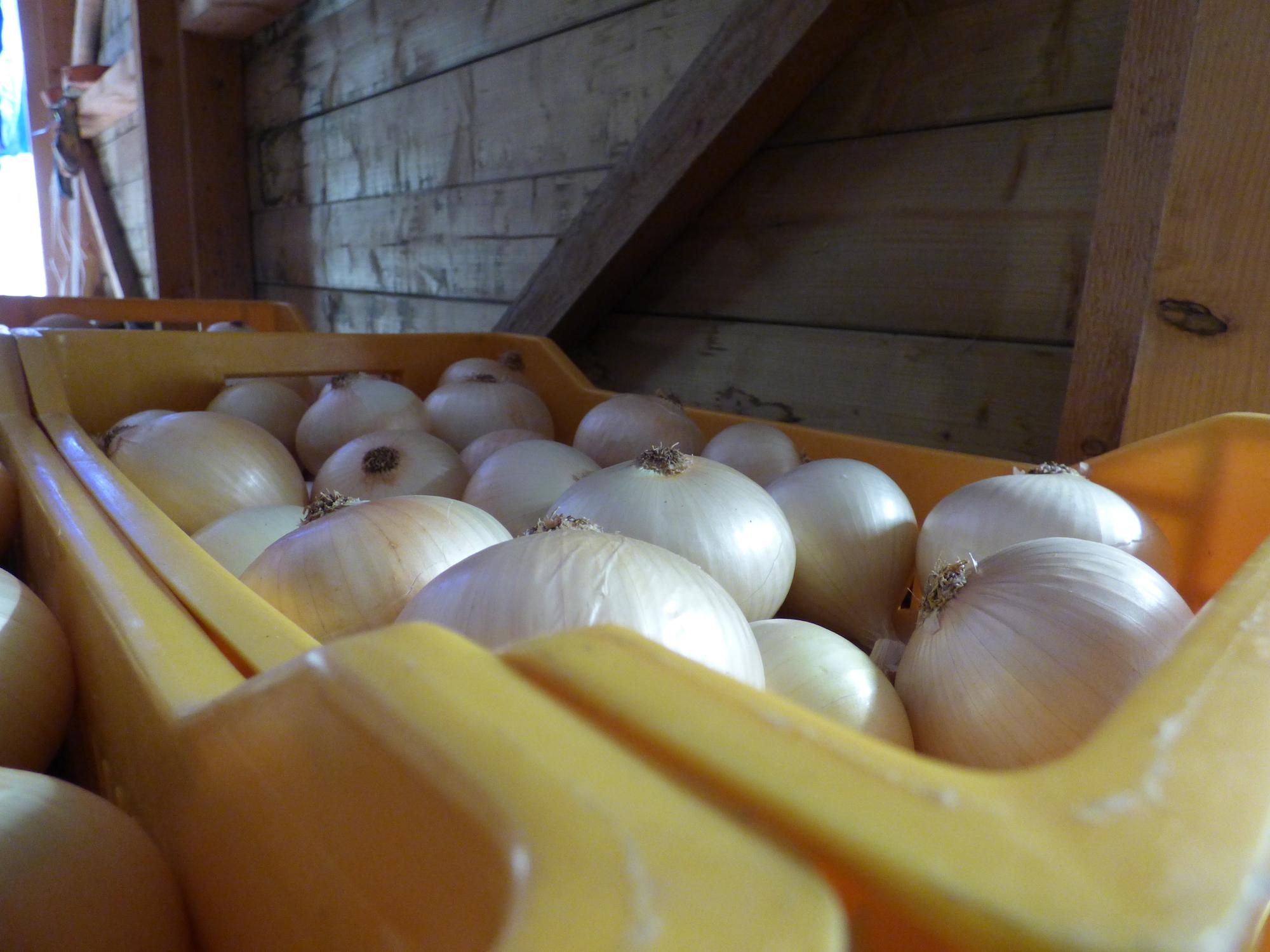 2017: une récolte record pour l'oignon doux des Cévennes