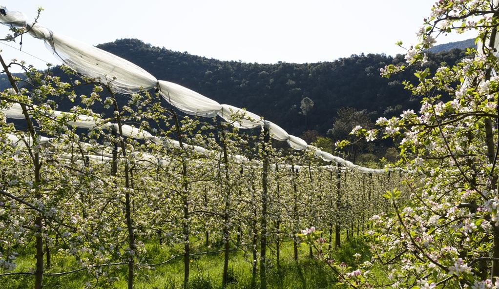 Vergers de pommes BIO de la coopérative Origine Cévennes
