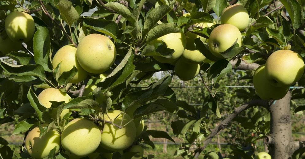 Pommes dans les vergers en BIO