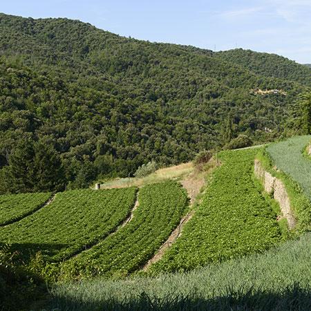 Champs de pomme de terre à côté des champs d'oignons doux des Cévennes