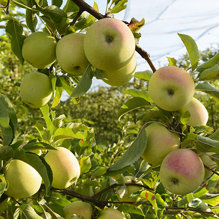 Pommes bio dans le verger